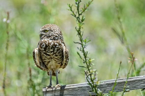 Burrowing-Owl-Athene-caunicularia-13-013276.vv