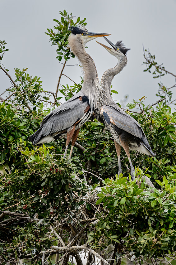 Great-Blue-Heron-Ardea-herodias-The-Rookery-Venice-13-010369.vv