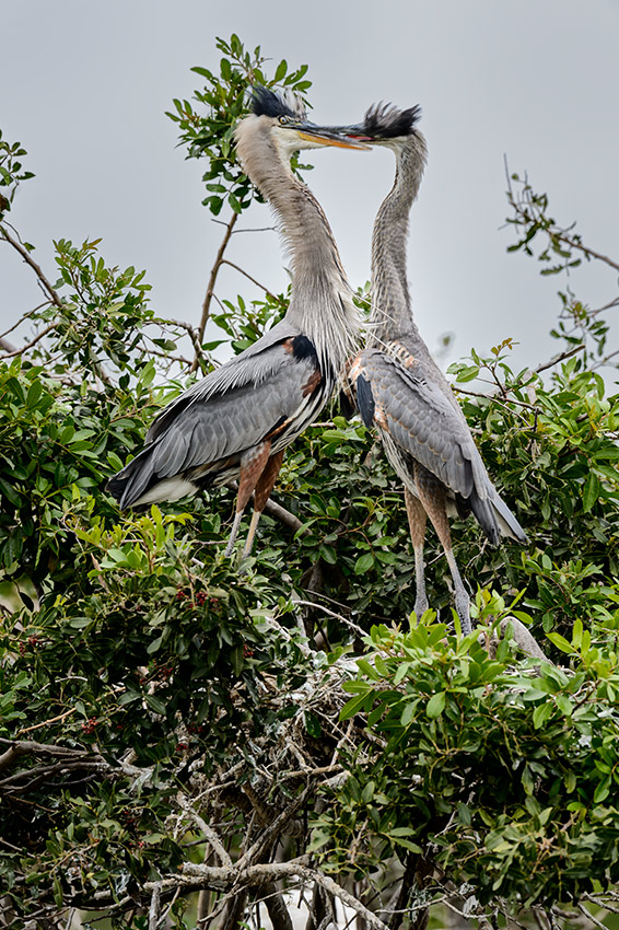 Great-Blue-Heron-Ardea-herodias-The-Rookery-Venice-13-010370.vv