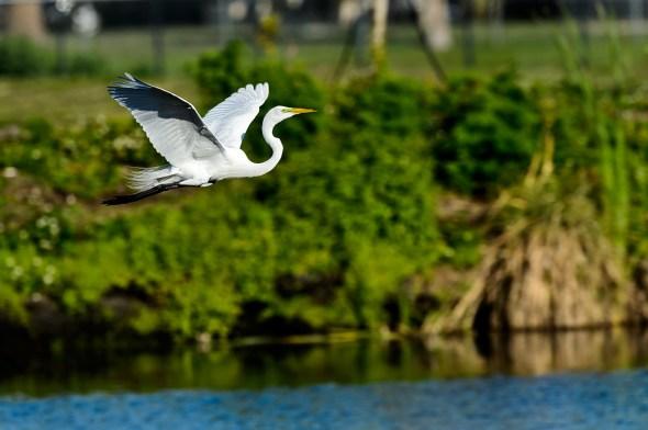 Great-Egret-Ardea-alba-The-Rookery-Venice-13-010786.vv