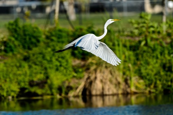 Great-Egret-Ardea-alba-The-Rookery-Venice-13-010788.vv