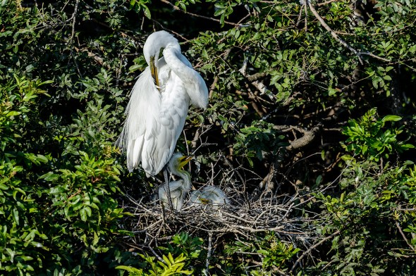 Great-Egret-Ardea-alba-with-chicks-The-Rookery-Venice-13-010278.vv