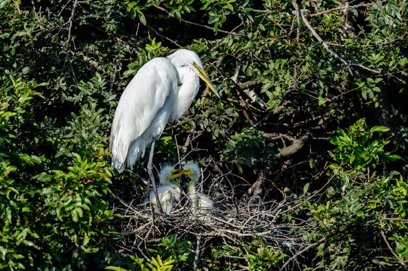 Great-Egret-Ardea-alba-with-chicks-The-Rookery-Venice-13-010291.vv