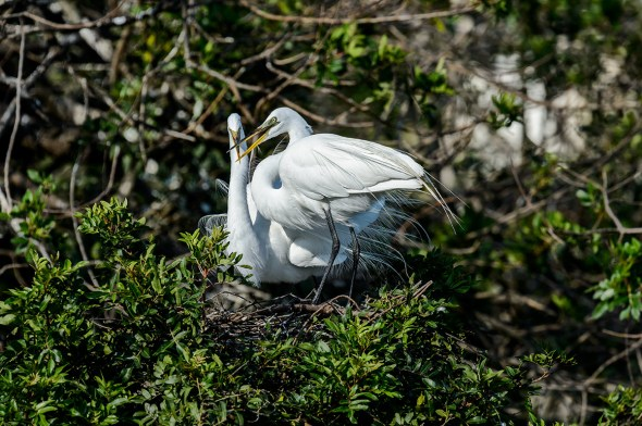 Great-Egret-Ardea-alba-with-chicks-The-Rookery-Venice-13-010311.vv