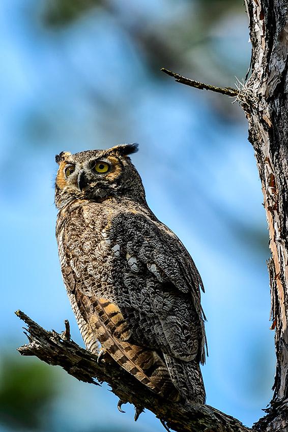 Great-Horned-Owl-Bubo-virginianus-Honeymoon-Island-13-009734.01