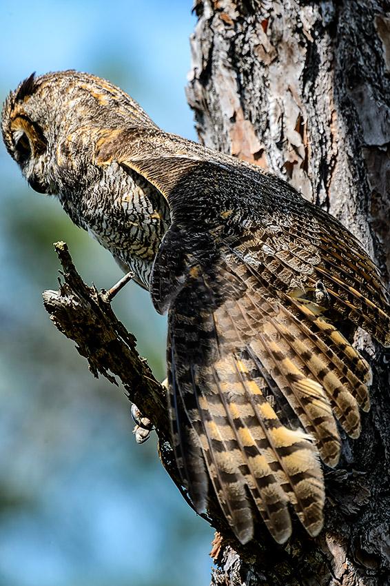 Great-Horned-Owl-Bubo-virginianus-Honeymoon-Island-13-009752.01