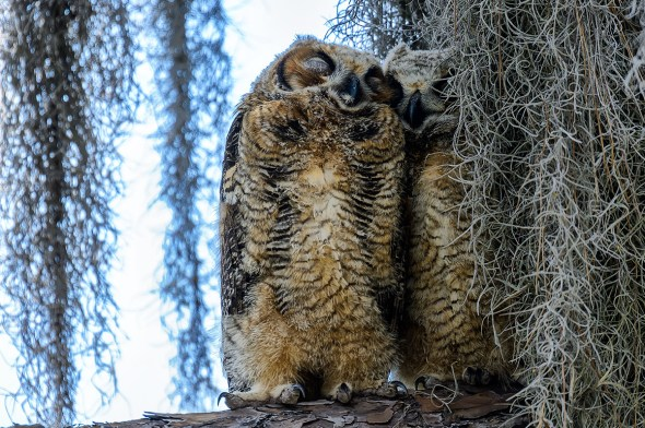 Great-Horned-Owl-Bubo-virginianus-Honeymoon-Island-13-009786.01