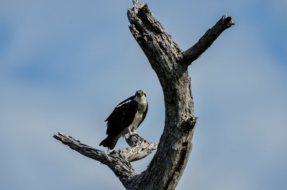 Osprey-Pandion-haliaetus-raptor-Honeymoon-Island-13-009703.01