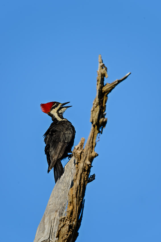 Pileated-Woodpecker-Dryocopus-pileatus-The-Rookery-Venice-13-010714.vv