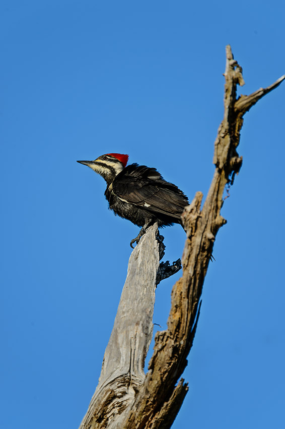 Pileated-Woodpecker-Dryocopus-pileatus-The-Rookery-Venice-13-010762.vv