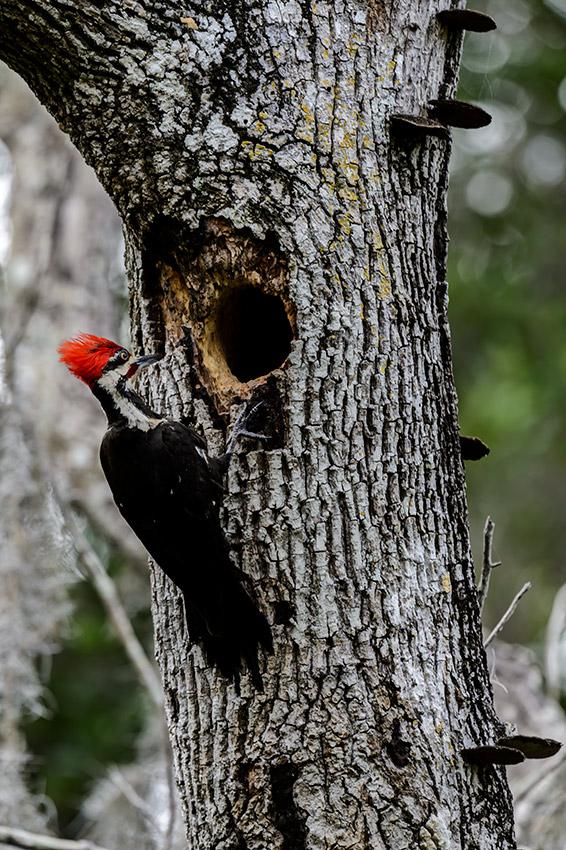 Pileated-Woodpecker-nest-Dryocopus-pileatus-13-011057.vv