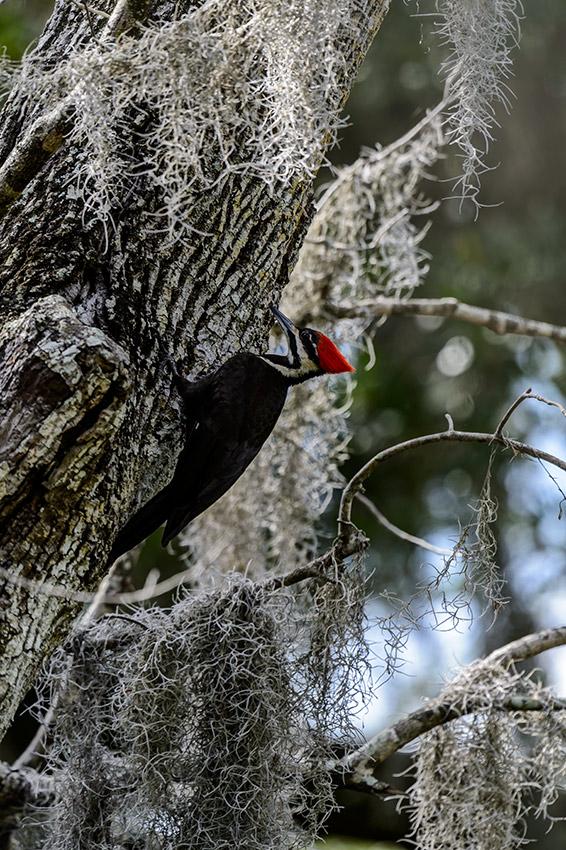 Pileated-Woodpecker-nest-Dryocopus-pileatus-13-011095.vv