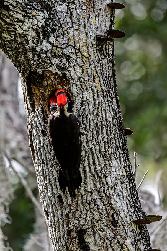 Pileated-Woodpecker-nest-Dryocopus-pileatus-13-011124.vv