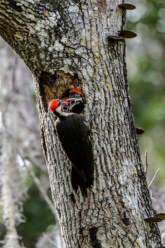 Pileated-Woodpecker-nest-Dryocopus-pileatus-13-011138.vv