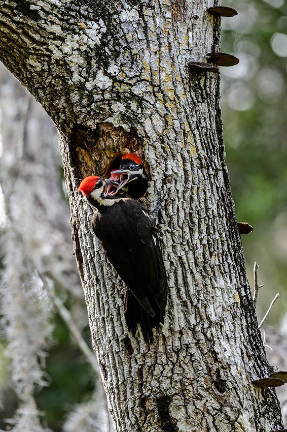 Pileated-Woodpecker-nest-Dryocopus-pileatus-13-011144.vv
