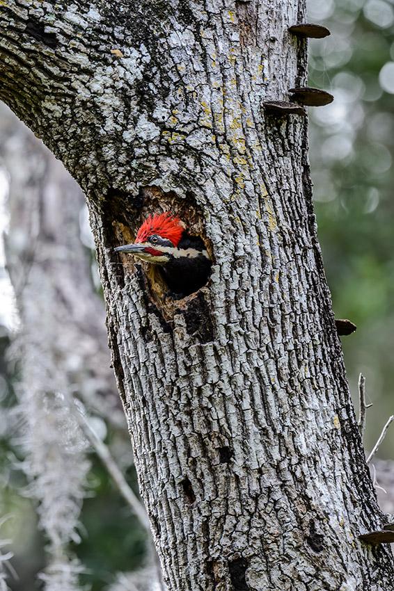Pileated-Woodpecker-nest-Dryocopus-pileatus-13-011148.vv