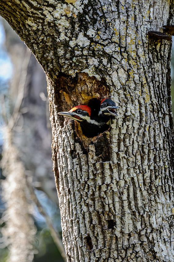 Pileated-Woodpecker-nest-Dryocopus-pileatus-Pinecraft-Park-Sarasota-13-012523.vv