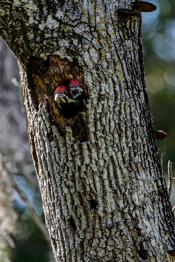 Pileated-Woodpecker-nest-Dryocopus-pileatus-Pinecraft-Park-Sarasota-13-012548.vv