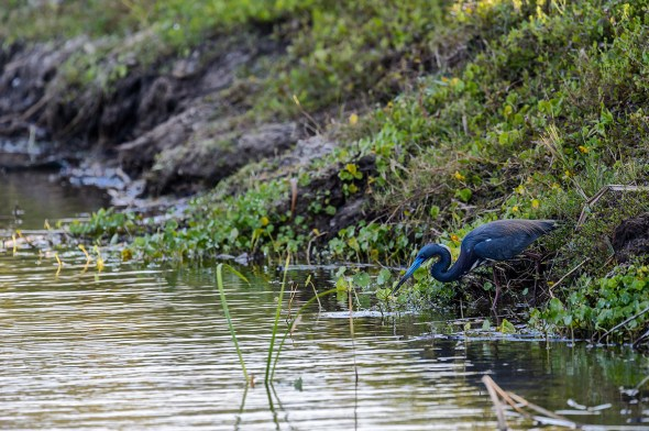 Tricolored-Heron-Egretta-tricolor-The-Rookery-Venice-13-010177.vv