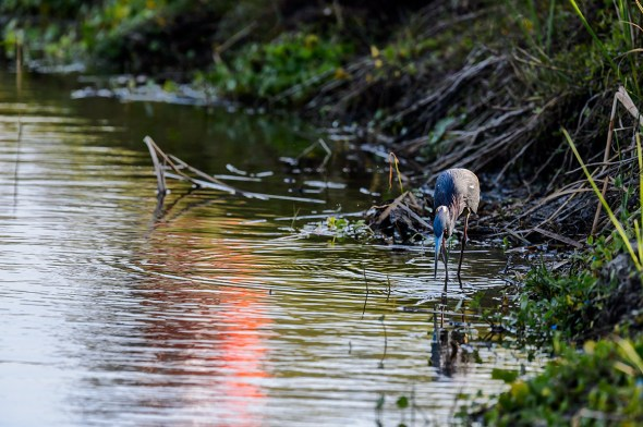 Tricolored-Heron-Egretta-tricolor-The-Rookery-Venice-13-010200.vv