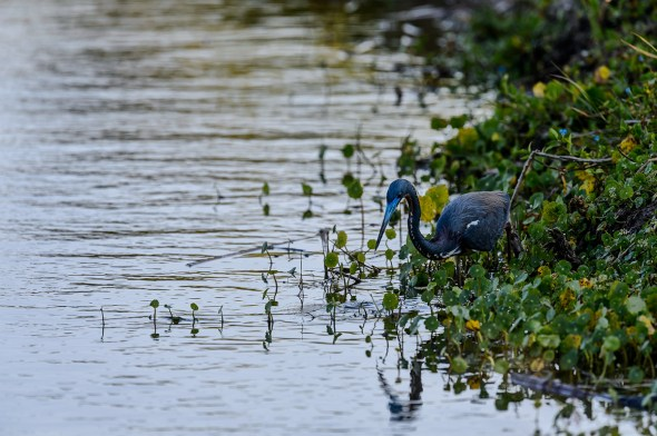 Tricolored-Heron-Egretta-tricolor-The-Rookery-Venice-13-010205.vv