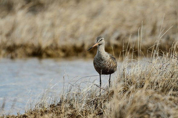 Bar-tailed-Godwit_0129003