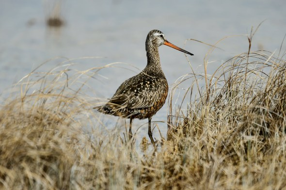 Bar-tailed-Godwit_0129172
