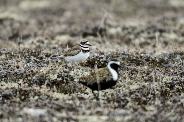 Killdeer-American-Golden-Plover_0122152