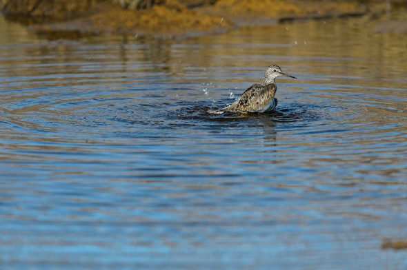 Greater-Yellowlegs-Tringa-melanoleuca-Churchill-13-020229.vv