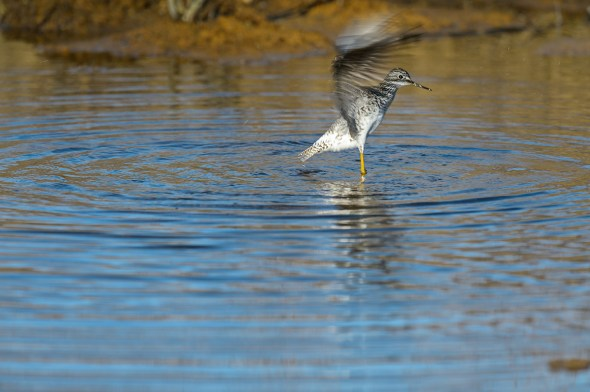 Greater-Yellowlegs-Tringa-melanoleuca-Churchill-13-020235.vv