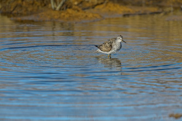 Greater-Yellowlegs-Tringa-melanoleuca-Churchill-13-020236.vv