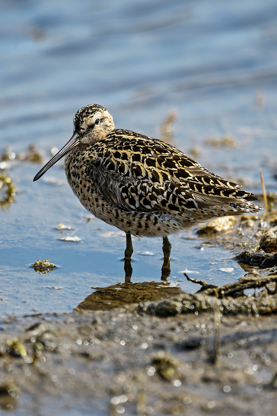 Short-billed-Dowitcher-Limnodromus-griseus-Churchill-13-017260.vv