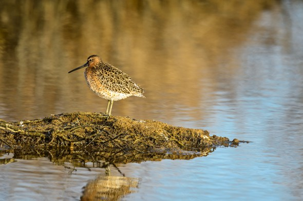 Short-billed-Dowitcher-Limnodromus-griseus-Churchill-13-019144.vv