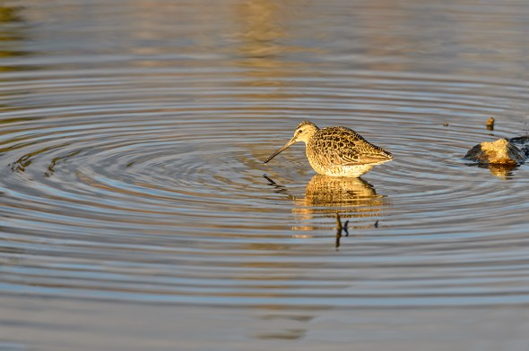 Short-billed-Dowitcher-Limnodromus-griseus-Churchill-13-019536.vv