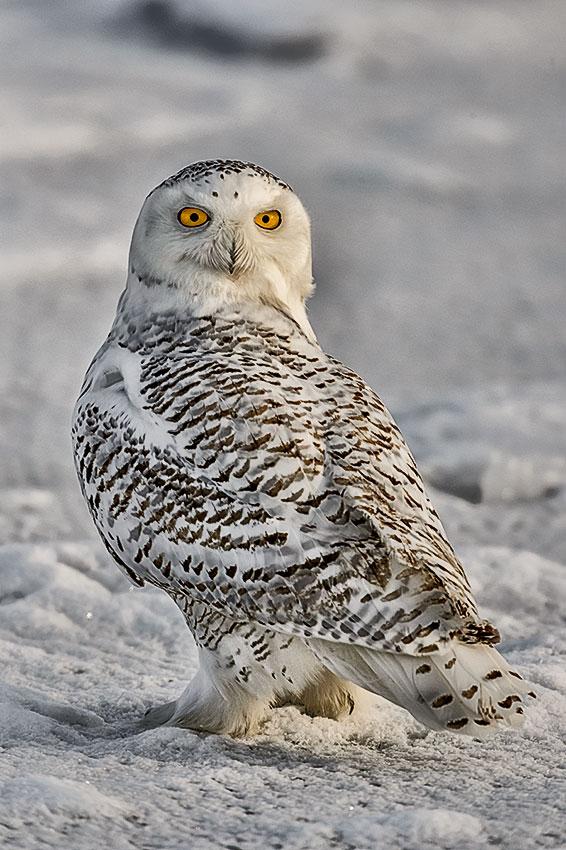 Snowy-Owl-Bubo-scandiacus-Richard-King-14-000222.vv