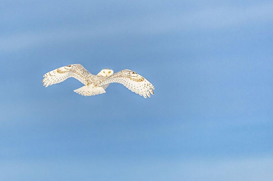 Snowy Owl Bubo scandiacus Richard King 14-000863.01