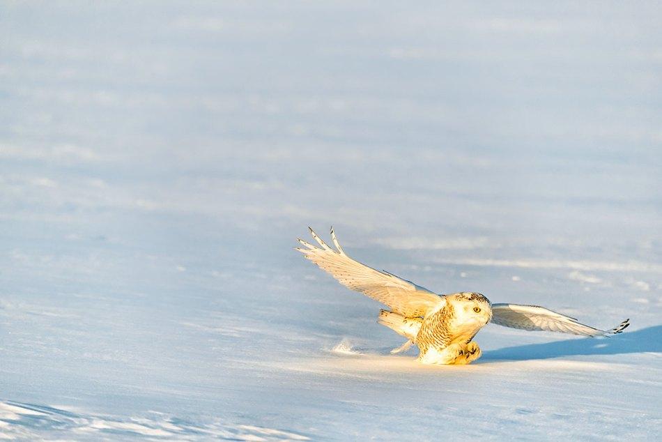 Snowy-Owl-Bubo-scandiacus-Richard-King-14-000947.vv