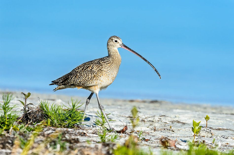 Long-billed-Curlew-Numenius-americanus-RKing-14-003716.vv