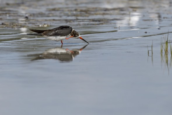 Black Skimmer (Rynochops niger) at Fort De Soto County Park beach, Florida