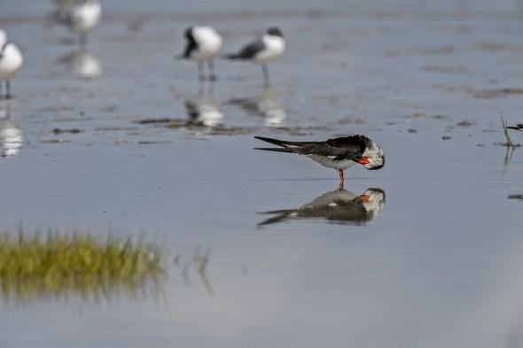 A Black Skimmer (Rynchops niger) Preening