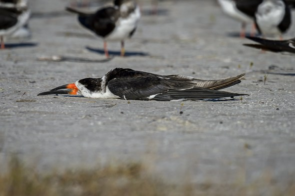 """Exhausted"" Black Skimmer (Rynchops niger) - apparently a sign that he is really relaxed!"