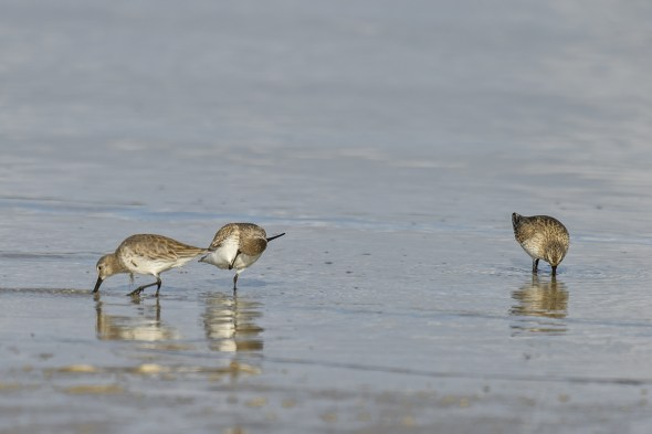 Dunlins (Caldris alpina) at Fort De Soto County Park Beach, Florida