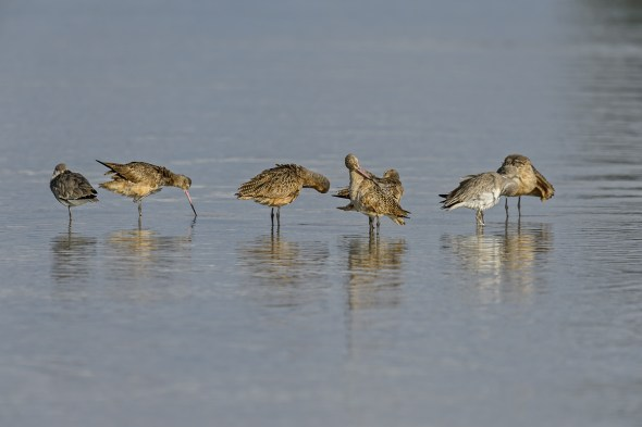 A Group of Marbled Godwits (Limosa fedoa) Preening