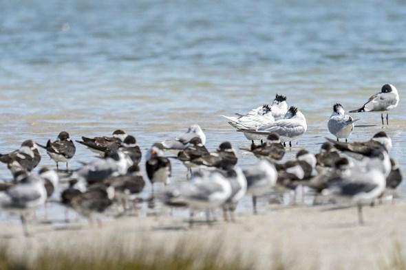 A Group of Royal Terns (Thalasseus maximus) sleeping at Fort De Soto County Park beach