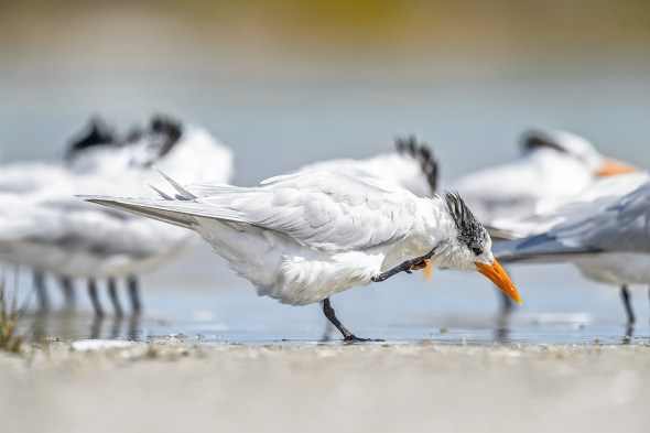 Royal Tern (Thalasseus maximus) scratching an itch, Fort De Soto County Park beach, Florida