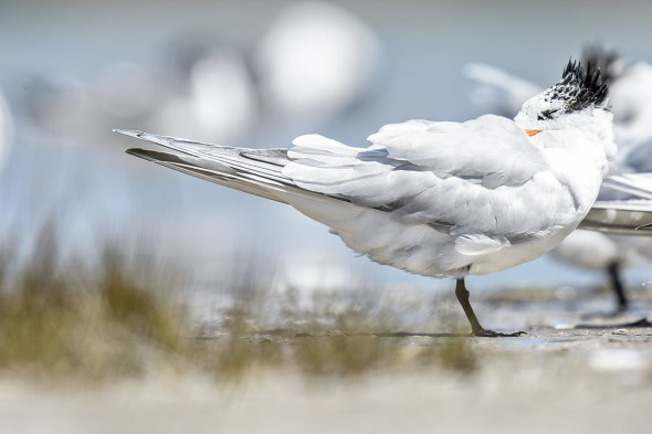 Royal Tern (Thalasseus maximus) sleeping at Fort De Soto County Park beach
