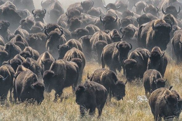 Annual-Buffalo-Round-Up-Custer-State-Park,-SD-RKing-15-043553-vv