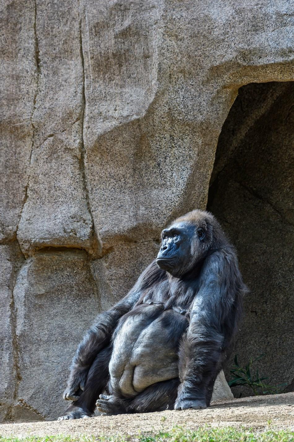 Gorilla Buddha