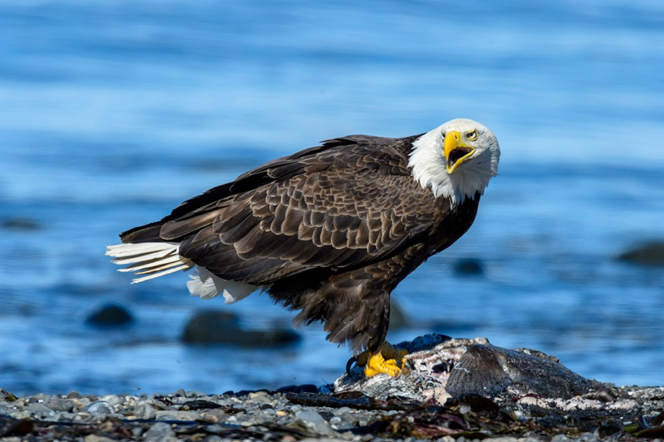 Bald Eagle (Haliaeetus leucocephlus) having lunch.