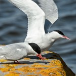 The non-Shorebirds that go to Churchill